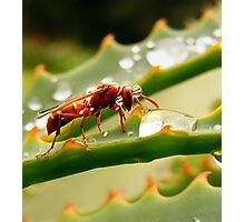 Hornet drinking from a rain drop (Polistes fastidiotus) Photographic Print