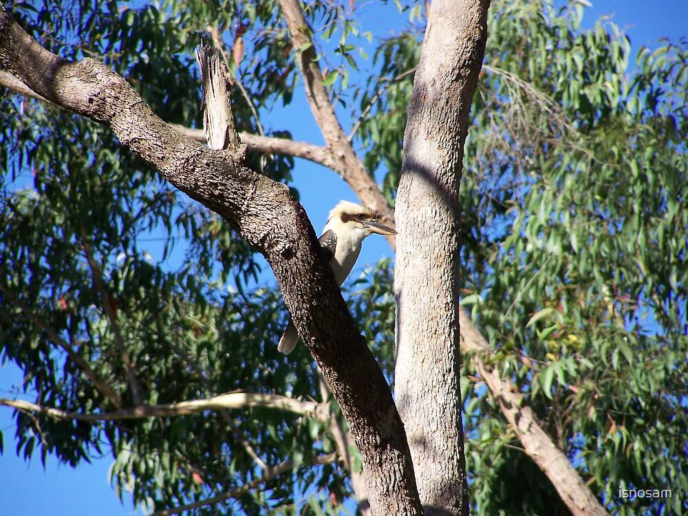 Kookaburra by isnosam