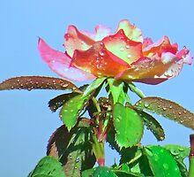 Raindrops on Roses   (1412072133VA) by photroen
