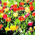 Tulips  by © Joe  Beasley IPA