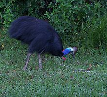Cassowary by isnosam
