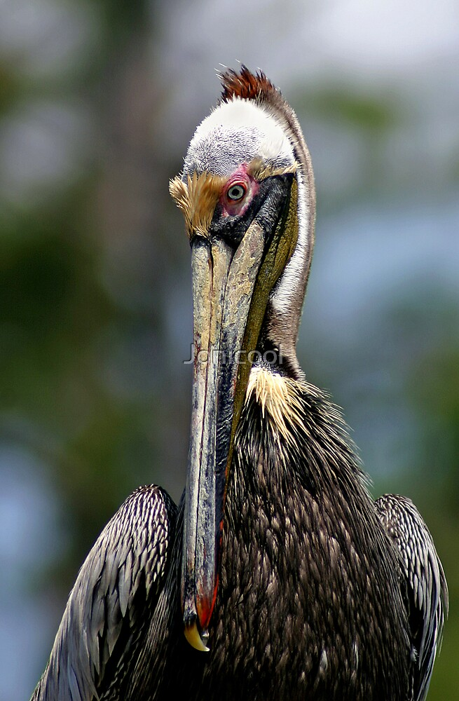 Colorful Pelican by Jonicool