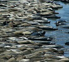 A world of Seals by Lmarcacci