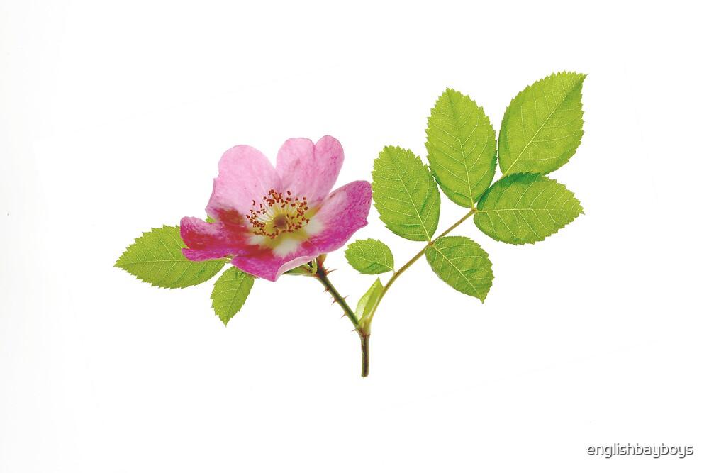 Rose 1 by englishbayboys