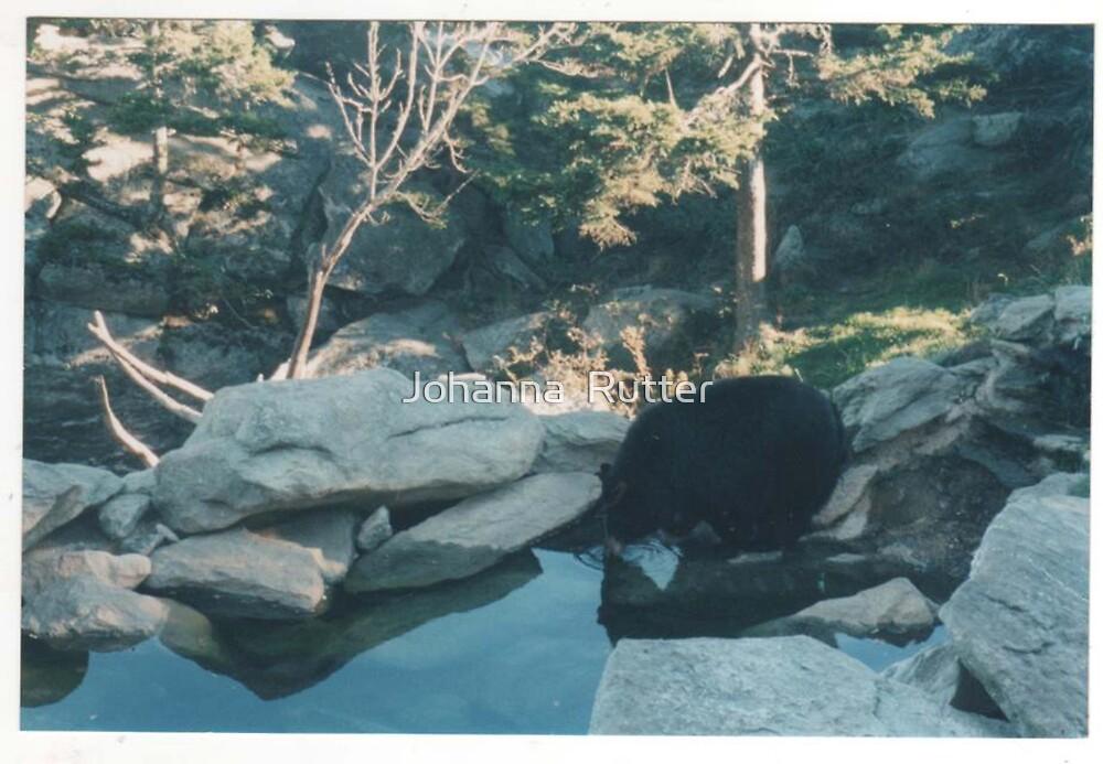 Grandfather mountain bear Boone, NC by Johanna  Rutter