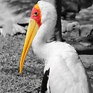 Yellow Faced Stork by Abigail Jennings