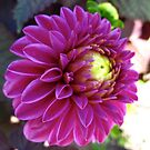 Once upon a Dahlia by MarianBendeth