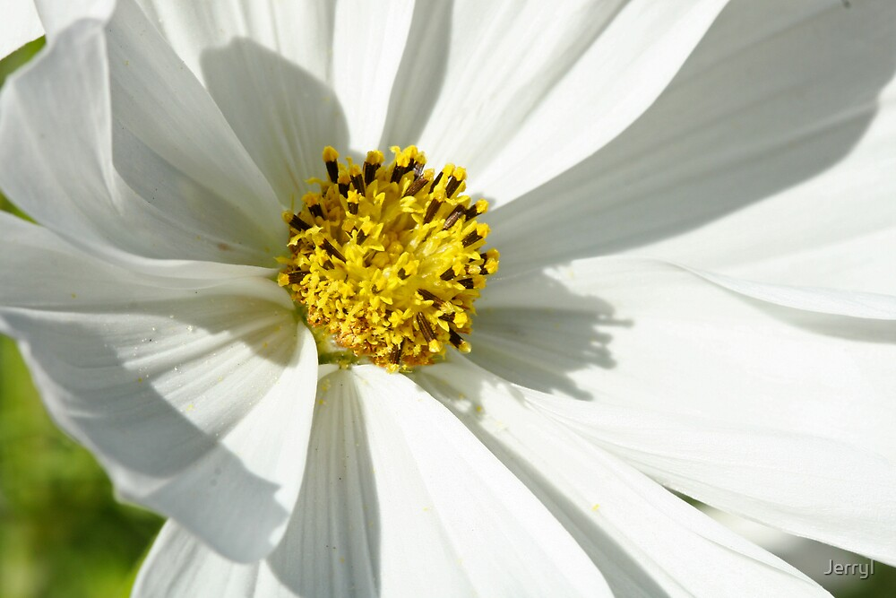 White Coreopsis 5758 by JerryI