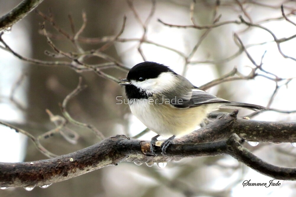 I Spy a January Thaw ~ Chickadee   by SummerJade