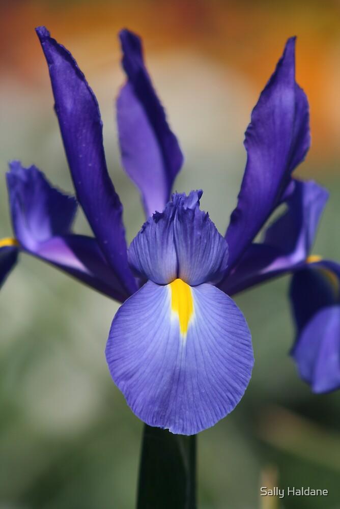 Iris de Floriade by Sally Haldane