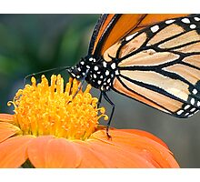 Monarch Butterfly sip nectar from a Daisy flower Photographic Print