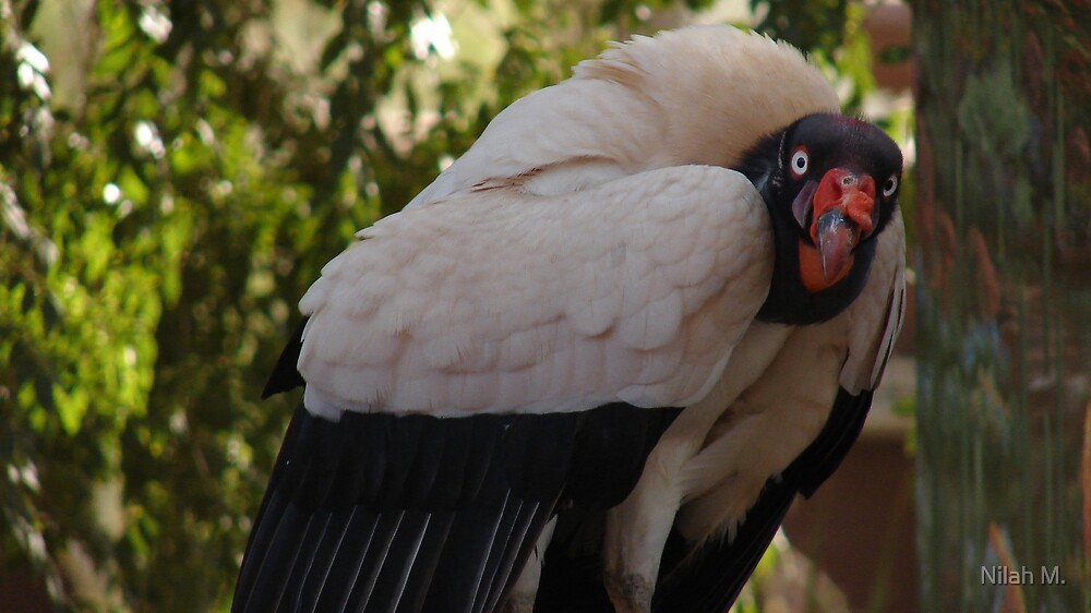 """It's Good To Be The King-Vulture"" by Nilah M."