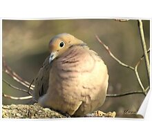 Mourning Dove ~ A Little Butterball Poster