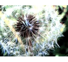 Dandylion Photographic Print