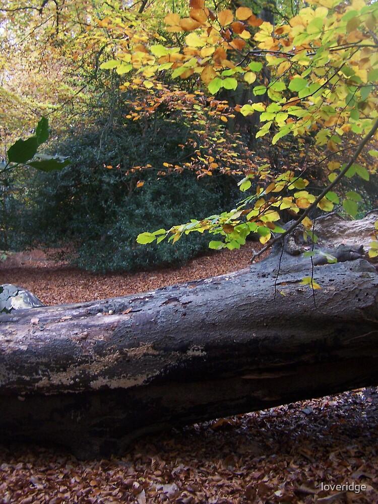 tj's log by loveridge
