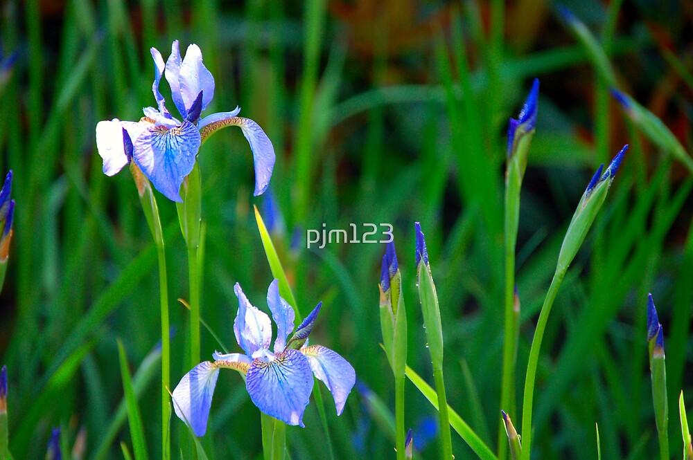 Lilly by pjm123