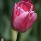 Pink Tulip by Sally Haldane