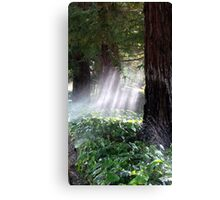 Mystical Moment with the Redwoods Canvas Print