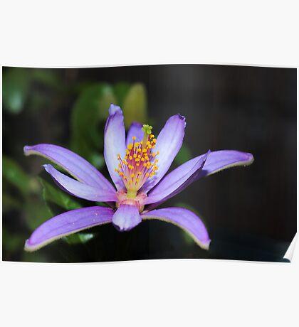 Japanese Lavander Star Flower Poster