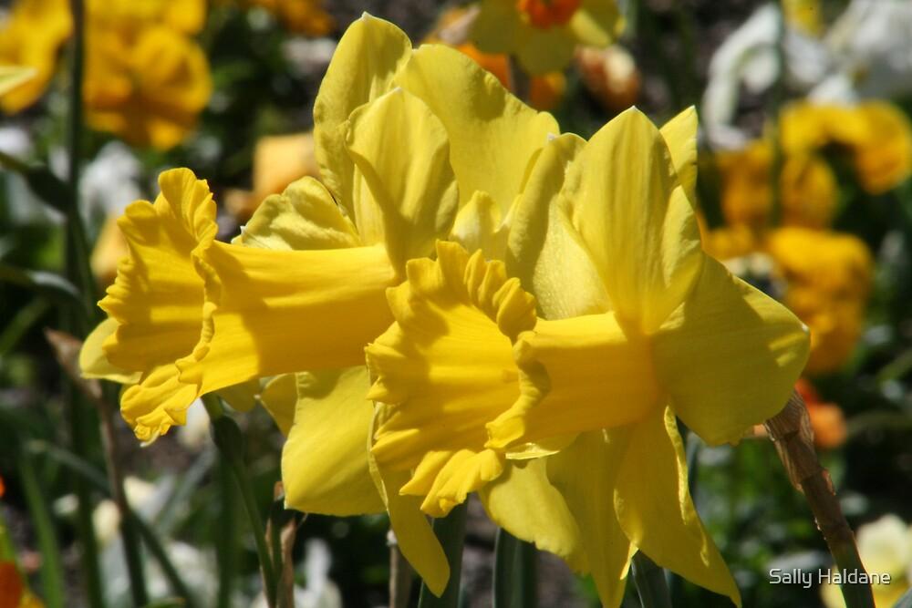 Smiling Daffodils by Sally Haldane