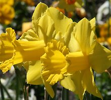 Smiling Daffodils by Sally Haldane