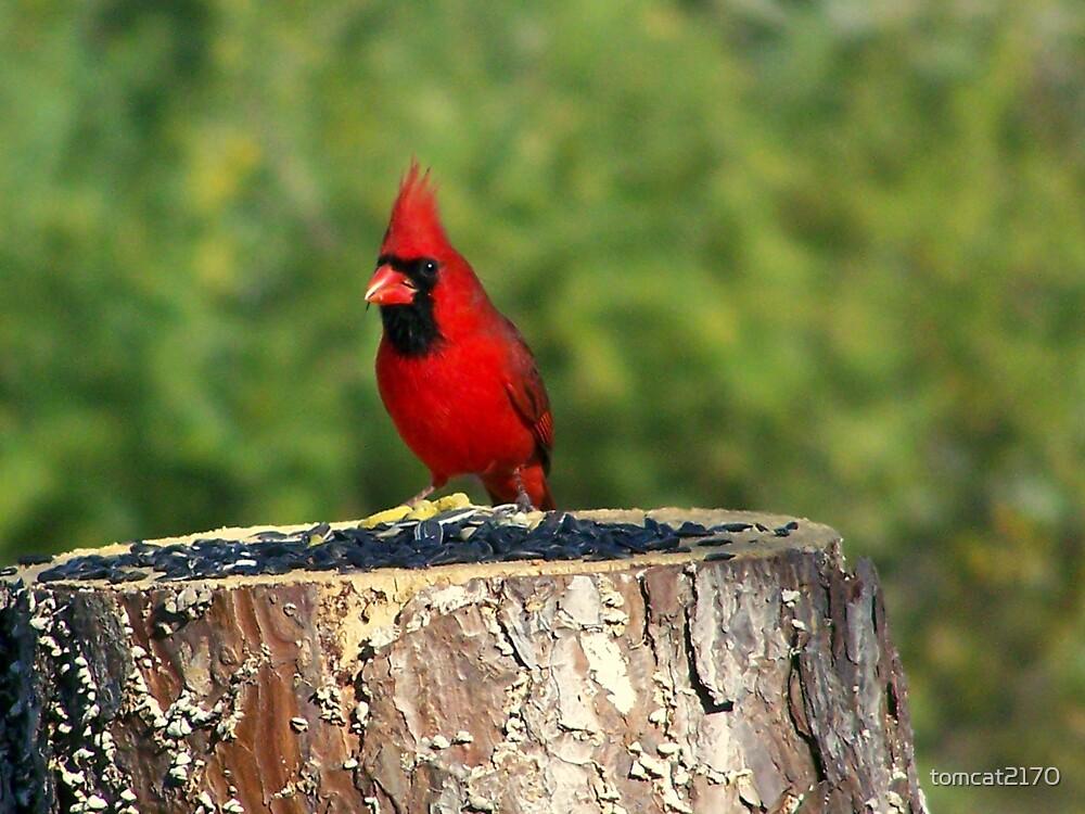 male cardinal by tomcat2170