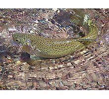 Montana Trout Photographic Print