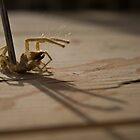 Camel Spider by madking