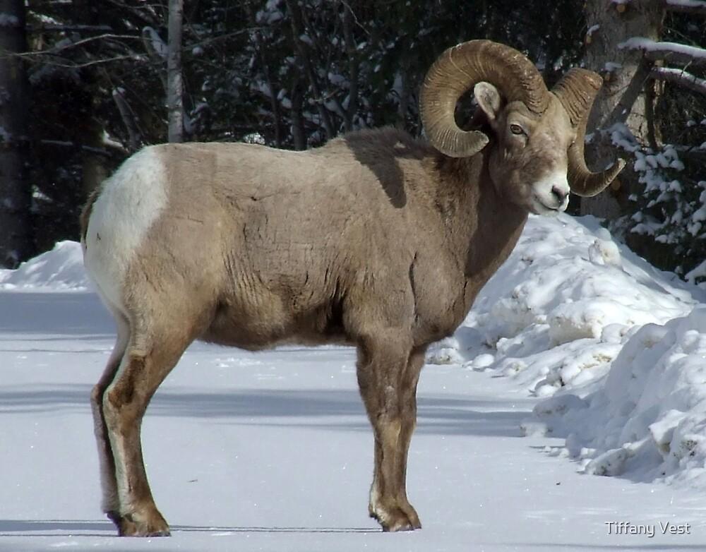Winter Bighorn by Tiffany Vest