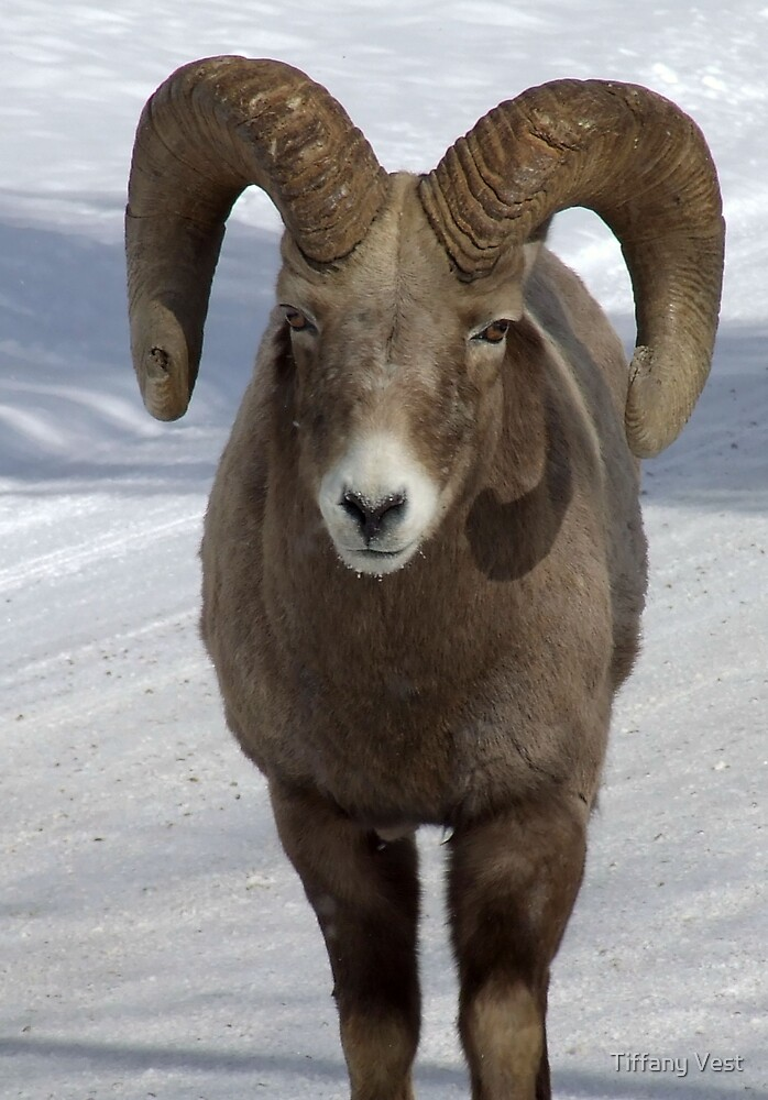 Bighorn Close up by Tiffany Vest