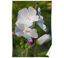 White jasmine flower Poster