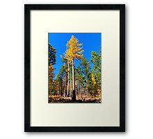 Western Larch Framed Print