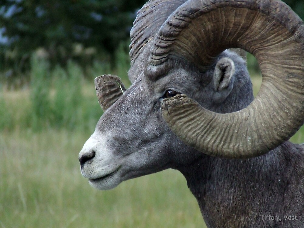 BIG Horned Ram by Tiffany Vest
