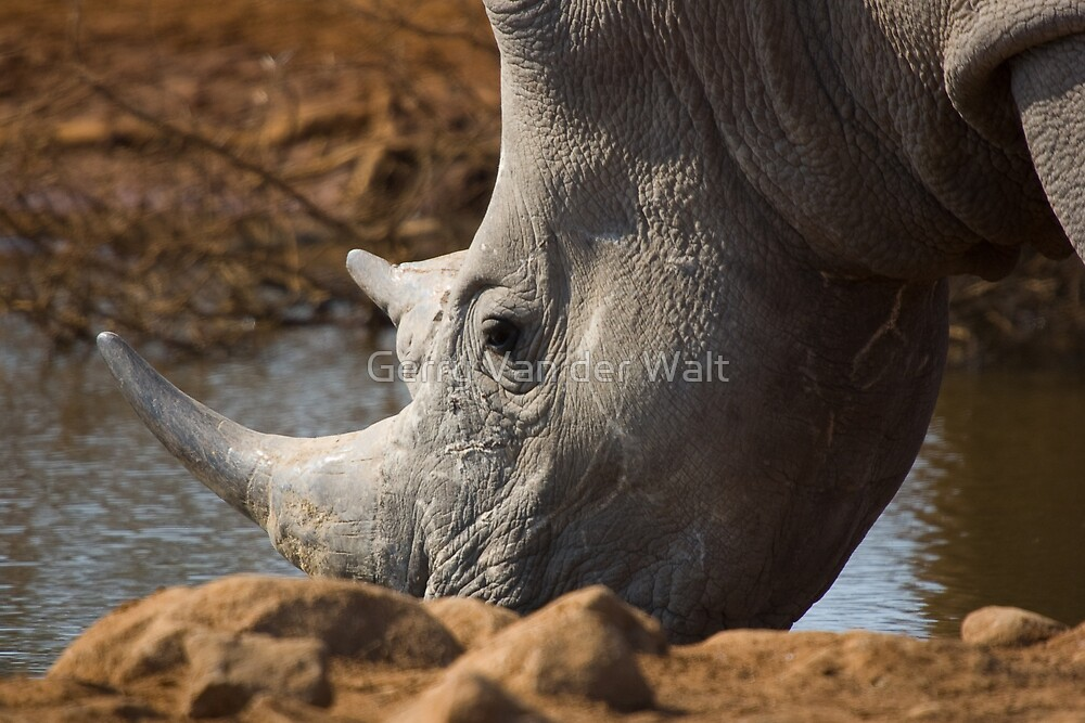 White Rhino Drinking - Close Up by Gerry Van der Walt