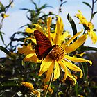 Gulf Fritillary on Sunflower by Brenda Loveless