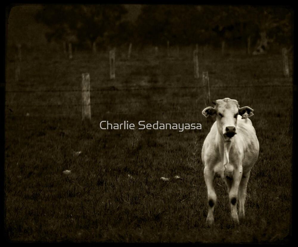 moo... by Charlie Sedanayasa