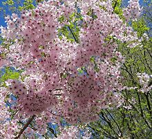 Cherry blossom (2) by Mike Warman