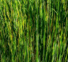 The Reeds by Chilli