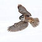 Northern Hawk Owl by Gary Fairhead