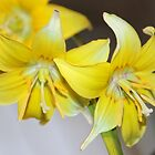 Dogs Tooth Violet -  by AnnDixon
