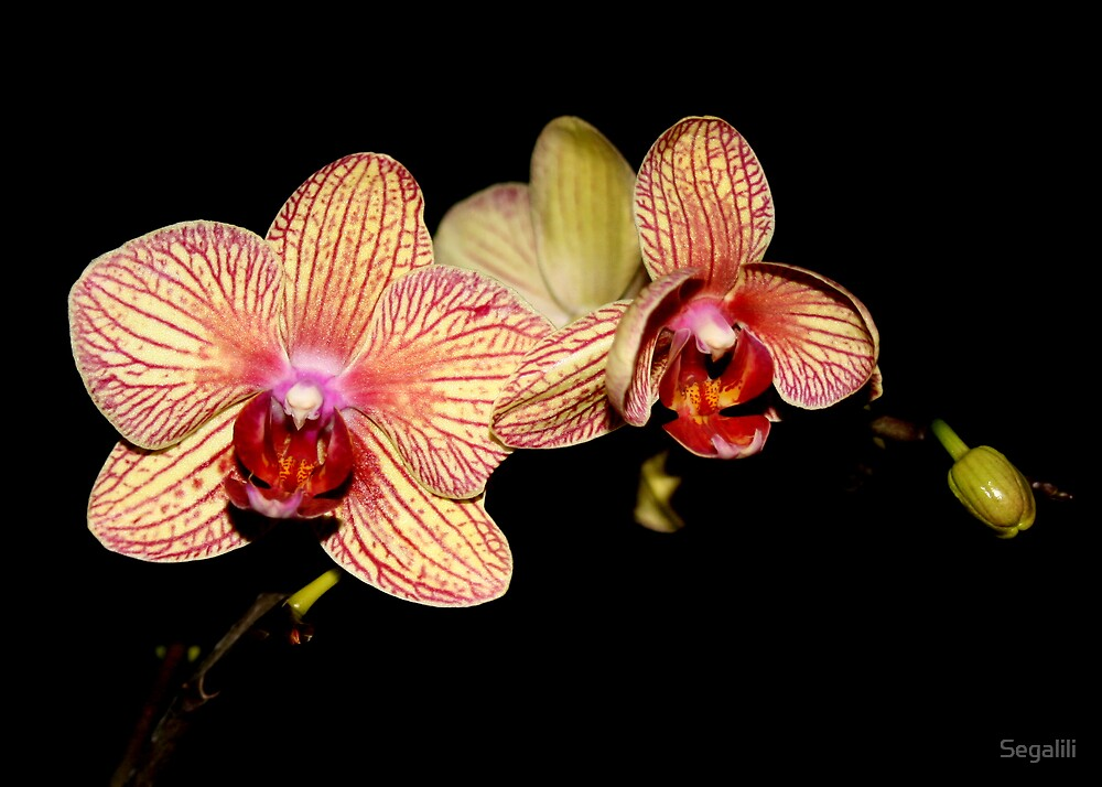 Pink Orchid's Faces by Segalili