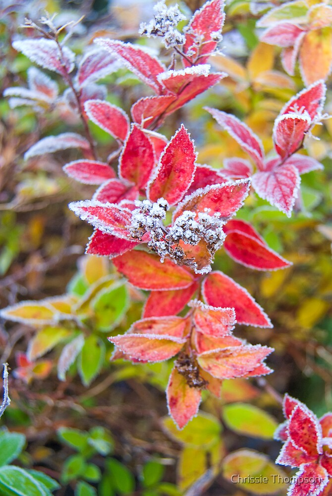 Frosty Autumn Leaves by Chrissie Thompson