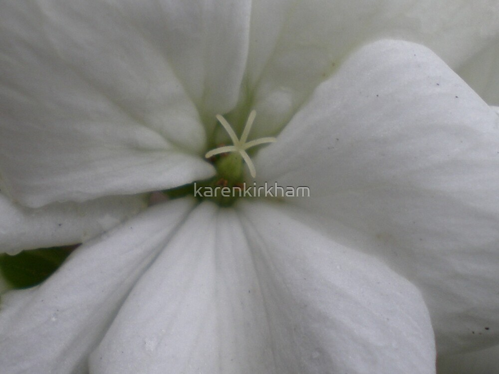 White geranium by karenkirkham