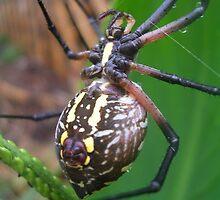 Garden Spider by jillspring