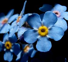 Forget-me-not by Julia  Massey