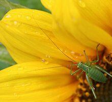 Cricket on sunflower by Julia  Massey