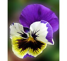 Cheerful Pansy Photographic Print