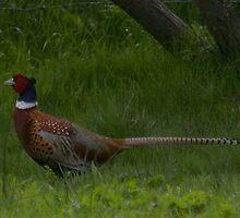pheasant.. by annie1