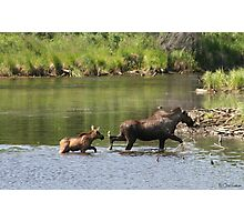 Moose Cow and Calf  Photographic Print