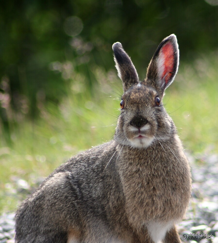 Snowshoe hare by zpaperboyz